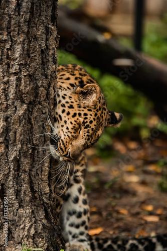 Fototapeta lazy leopard playing