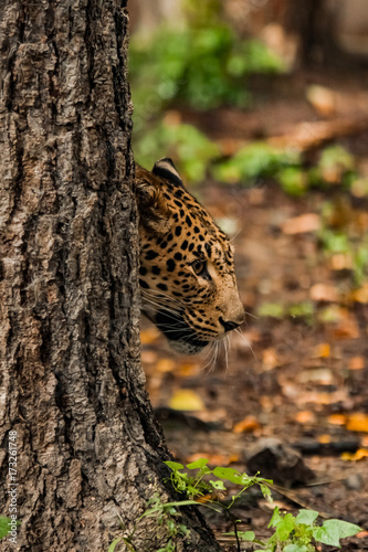 lazy leopard playing Poster