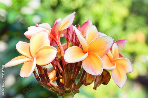 Fotobehang Plumeria Beautiful plumeria flower in the tropical garden