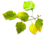 branch of lime with autumn leaves isolated on white