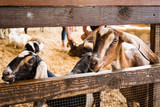 Goats inside petting pen at fair. - 173330518