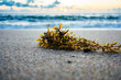 close up of seaweed washed up on the shore of the beach