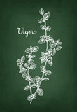 Chalk sketch of thyme - 173334193