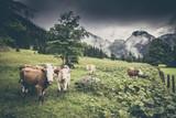 Kühe auf der Alm in den Alpen - 173336978