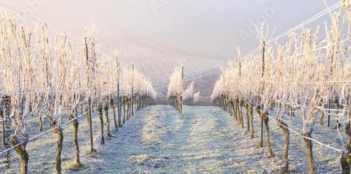 Aluminium Wijngaard Winter und morgendlicher Bodenfrost im Weinberg