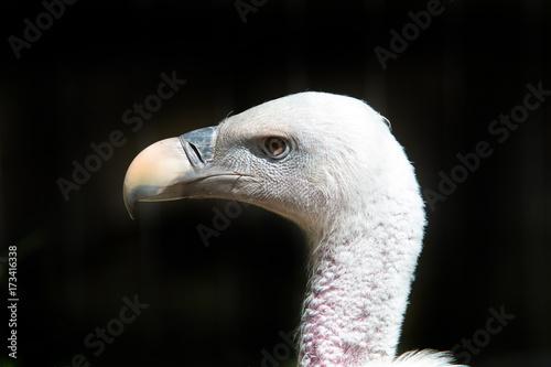 Fotobehang Head shot of a griffon Vulture in captivity