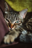 Portrait of a tabby cat resting