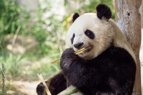 Fotobehang Panda 笹を食べるパンダ