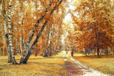 Birch grove with a bicyclist at the trails crossroad on sunny autumn day, autumn time landscape