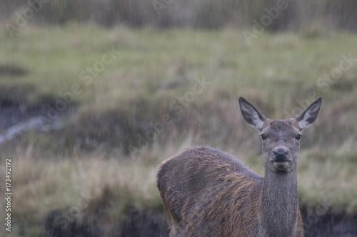 Fotobehang Kangoeroe red deer stag buck rutting doe