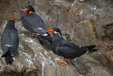 Portrait of ringed Inca Tern birds on rocks in natural habitat environment - 173496181