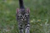 Mały pręgowany kot