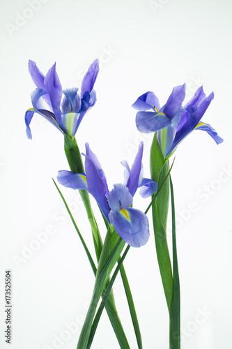 Fotobehang Iris Three Iris's