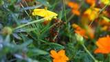Large Milkweed Beetles - 173525799