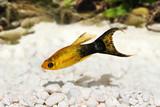 Golden black Lyretail Molly Poecilia latipinna aquarium fish