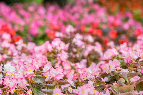 Aluminium Candy roze Flowers of colored begonia. Natural pink background