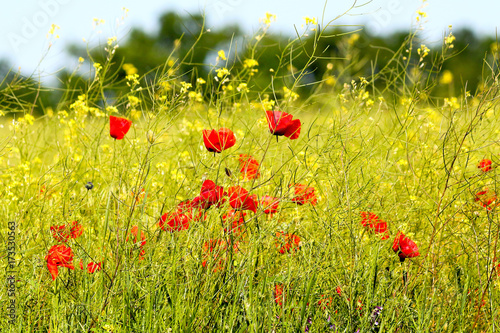 Fotobehang Klaprozen Field of red poppies and yellow canola in bright light at spring
