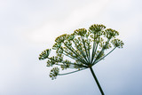 Close up of blooming dill flowers in seasoning kitchen garden. Fresh fennel blossoms on the blurred background. Selective focus, social network concept - 173539580