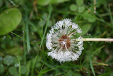 raindrops on dandelion
