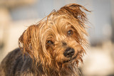 Funny dog with curiosity expression. blurred background. Doggy hairy ear, nose and snout, Yorkshire Terrier brown. Hey what's up, curiosity expression