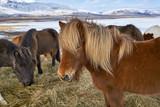 Icelandic horses on field - 173578906