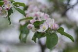 Яблоневый цвет - 173588943