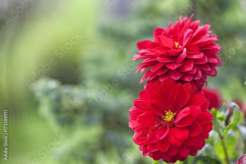 Red dahlia flowers.