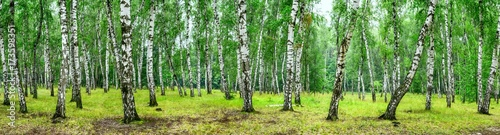 Birch grove on a sunny summer day, landscape banner, huge panorama - 173598351