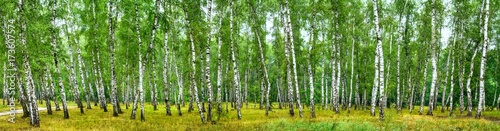 Plexiglas Berkenbos Birch grove on a sunny summer day, landscape banner, huge panorama