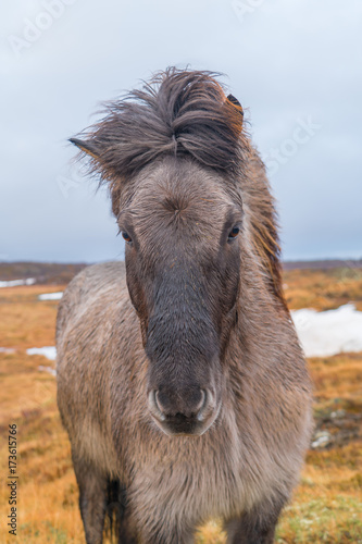 Fotobehang Kameel Cute Icelandic horses. The Icelandic horse is a breed of horse developed in Iceland.