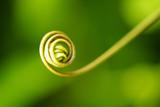 close  up  vine    passion fruit