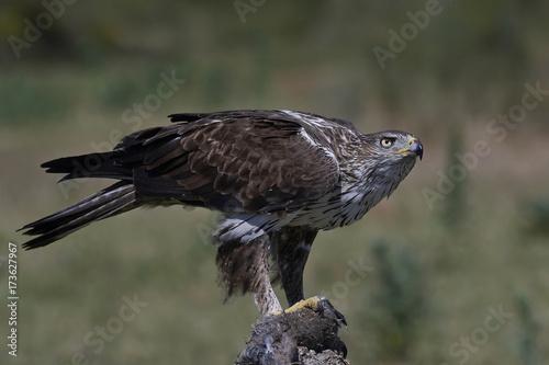 Bonellis eagle (Aquila fasciata) Poster