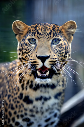 Fototapeta Close angry leopard portrait