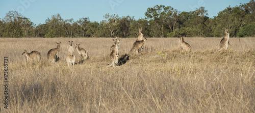 Aluminium Kangoeroe Kangaroos in the countryside