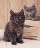 Black and gray Kurilian Bobtail cat portrait. - 173668148