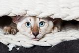 Junge Bengalkatze