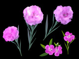 five pink flowers isolated on black