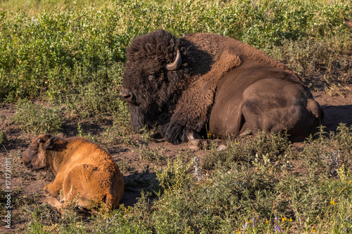 Fotobehang Bison Adult and Baby Buffalo sitting in Grass