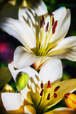 white Lily flowers in summer garden. background floral