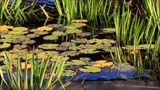 garden pond with water lilies leaves