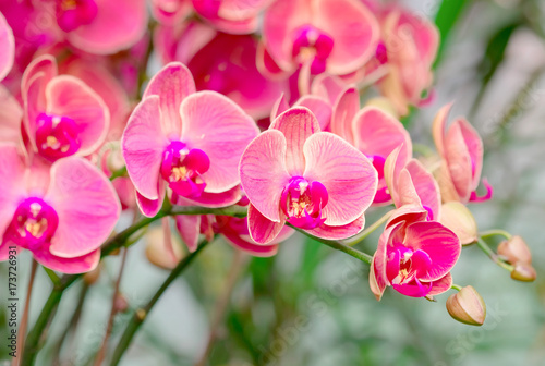 Beautiful pink orchid , Phalaenopsis orchid