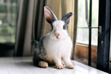 Grey bunny rabbit looking frontward to viewer, Little bunny sitting on white desk, Lovely pet for children and family. - 173732172