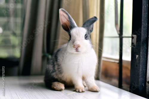 mata magnetyczna Grey bunny rabbit looking frontward to viewer, Little bunny sitting on white desk, Lovely pet for children and family.