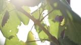 Wine grapes in the sun. - 173733569