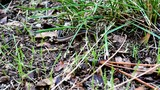 Garter snake crawling through the grass. - 173733707