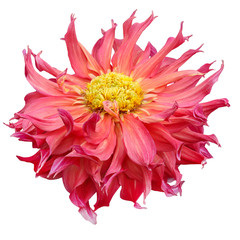 pink yellow striped head of a dahlia flower