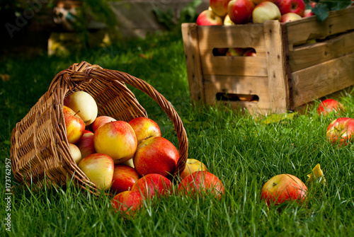 Sticker Red Apples with Wicket Basket in the Grass