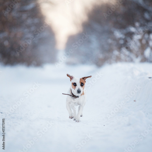 Dog walking at winter Poster