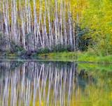 Birch Tree Reflection