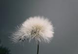 dandelion - 173783301